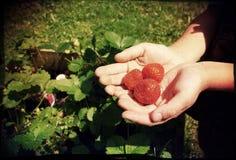 Mit der Hand gepflückte Erdbeeren Lizenzfreies Stockbild