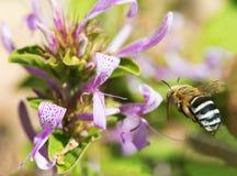 Mit einem Band versehene Biene nähert sich Blume Lizenzfreies Stockbild