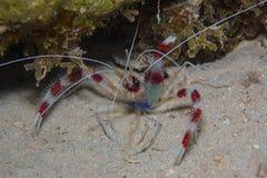Mit einem Band versehene Garnele auf den Korallen Stockfotografie