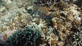 Mit einem Band versehene Seeschlange stock video footage
