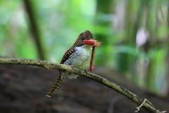 Mit einem Band versehener Eisvogel, lacedo pulchella Lizenzfreie Stockfotografie