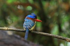 Mit einem Band versehener Eisvogel u. x28; lacedo pulchella& x29; Stockfoto