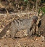 Mit einem Band versehener Mungo - Botswana Lizenzfreie Stockfotos