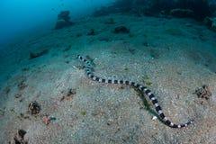 Mit einem Band versehener Schlangen-Aal-Nachahmer der mit einem Band versehenen Seeschlange stockbild