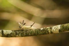 Mit einem Band versehener Trägspinner Caterpillar, das oben auf eine Niederlassung Schritt für Schritt fortbewegt Stockfotografie