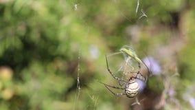 Mit einem Band versehenes Gartenkreuzspinne Argiope trifasciata knackt unten mit der fortgesetzten Heuschrecke - stock video footage