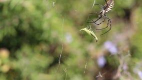 Mit einem Band versehenes Gartenkreuzspinne Argiope trifasciata knackt unten mit Heuschrecke stock video footage