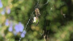 Mit einem Band versehenes Gartenkreuzspinne Argiope trifasciata saugt die Heuschrecke stock footage