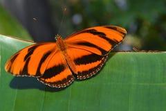 Mit einem Band versehenes orange Longwing Stockfotografie