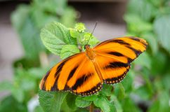 Mit einem Band versehenes orange Schmetterling Dryadula-phaetusa stockfotografie