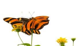 Mit einem Band versehenes orange Schmetterling Dryadula-phaetusa stockfotos