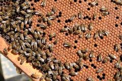 Mit einer Kappe bedeckte Zellen in der Bienenwabe im Rahmen Lizenzfreie Stockfotos
