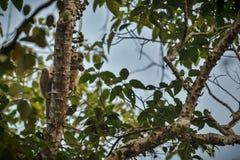 Mit einer Kappe bedeckter Languraffe auf einem Baum im Dschungel Stockbilder