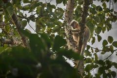 Mit einer Kappe bedeckter Languraffe auf einem Baum im Dschungel Lizenzfreie Stockfotografie
