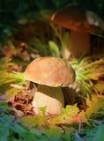 Mit einer Kappe bedeckter Pilz Stockbild