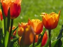 Mit Federn versehene Orange, rote, gelbe Tulpe stockfotos