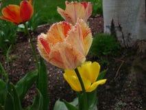 Mit Federn versehene Tulpe Stockfotos