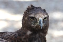 Mit Haube Adler-Raubvogel Stockfotografie