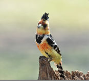 Mit Haube Barbet (Trachyphonus vaillantii) stockfoto