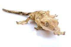 Mit Haube Gecko stockbild