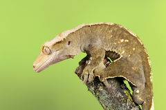 Mit Haube Gecko stockfoto