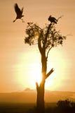 Mit Haube Kräne am Sonnenaufgang Stockfotografie