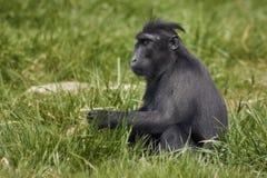 Mit Haube Macaque Lizenzfreies Stockfoto