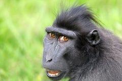 Mit Haube Macaque Lizenzfreie Stockfotos