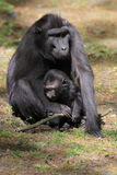 Mit Haube schwarzer Macaque Stockbild