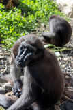 Mit Haube schwarzer Macaque Lizenzfreies Stockbild