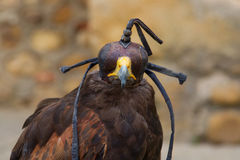 Mit Kapuze Harris Hawk (Parabuteo Unicintus) Stockfotos