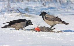Mit Kapuze Krähe auf Schnee Stockbilder