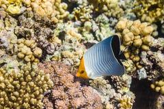 Mit Kapuze oder orangeface Butterflyfish Chaetodon-larvatus stockfoto