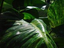 Mit Kohlensäure durchgesetzte Philodendronblätter Lizenzfreie Stockbilder