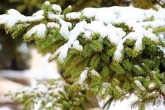 mit schneebedeckter Kiefer Stockfoto