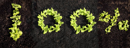 100% mit wachsendem Kopfsalat Stockbild