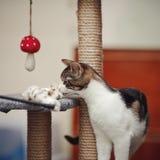 Mit Weiß die Katze mit einem Spielzeug gestreift lizenzfreies stockfoto