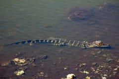 Mitad del pequeño cocodrilo sumergido en los marismas Foto de archivo