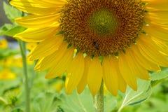 Mitad del primer del girasol feliz amarillo hermoso brillante que muestra el modelo del polen, pétalo suave, abeja con el campo v Imagen de archivo libre de regalías