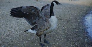 Mitcham Pond Duck Display stock photos