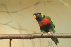 Mitchell lorikeet Royalty Free Stock Images