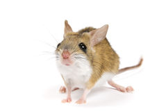 Mitchell's Hopping Mouse on a white background. Royalty Free Stock Photo