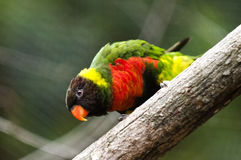 Mitchells Lorikeet Royalty Free Stock Photos