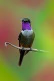 mitchellii Púrpura-throated de Woodstar, de Calliphlox, pequeño colibrí con el cuello coloreado en la flor verde y roja, pájaro e Fotos de archivo