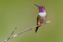 mitchellii Roxo-throated de Woodstar, de Calliphlox, colibri pequeno com o colar colorido na flor verde e vermelha Pássaro no Imagens de Stock Royalty Free