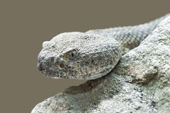 Mitchells rattlesnake (crotalus mitchellii) Stock Photography