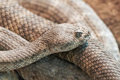 Mitchells rattlesnake (crotalus mitchellii) Royalty Free Stock Photography