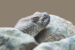 Mitchells skallerorm (crotalusmitchelliien) Arkivbild