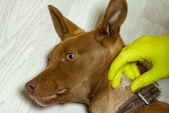 The mite bites a reddish dog. The vet doctor removes the Ixodes tick from a dog that has been bitten into the neck. Tick sucked to the skin of the dog. Mite stock photo