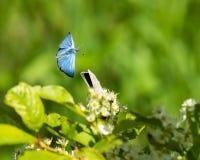 Mite bleue argentée en vol image stock